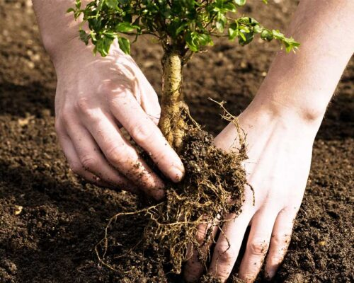 Tree Planting-Winter Haven FL Tree Trimming and Stump Grinding Services-We Offer Tree Trimming Services, Tree Removal, Tree Pruning, Tree Cutting, Residential and Commercial Tree Trimming Services, Storm Damage, Emergency Tree Removal, Land Clearing, Tree Companies, Tree Care Service, Stump Grinding, and we're the Best Tree Trimming Company Near You Guaranteed!